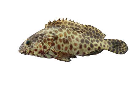 ハタの魚の隔離されたホワイト バック グラウンド 写真素材