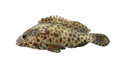 grouper: grouper fish isolated on white background
