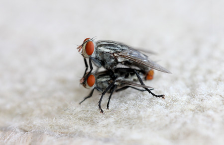 hairy legs: fly insect are breeding. Stock Photo