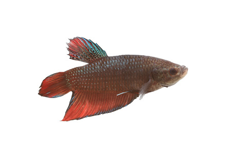 fighting fish: Red and black Fighting Fish species Thailand isolated on white background. Stock Photo