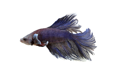 fighting fish: Purple fighting fish isolated on white background with clipping paths.