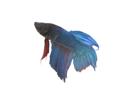 fighting fish: Blue and black Fighting Fish species Thailand isolated on white background.