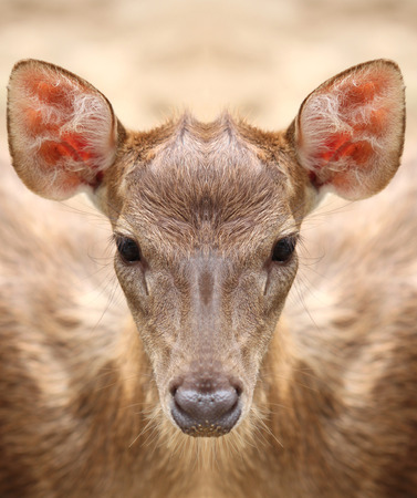 throb: Deer staring at the camera with a straight face. Stock Photo