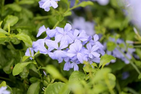 purple flowers: Purple flowers that blooming in the garden.
