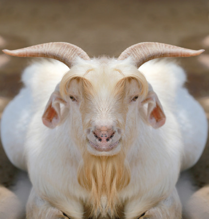 hircus: white goat in straight face staring at the camera.