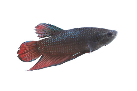 fighting fish: Red and black Fighting Fish species Thailand isolated on white background