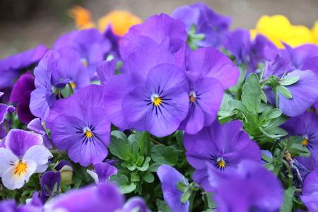 purple flowers: Purple flowers are blooming in the garden.