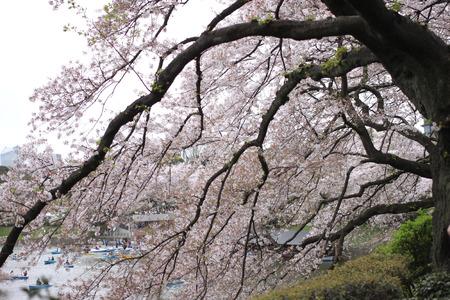 flor de cerezo: Spring of sakura cherry blossom in the garden,Japan.