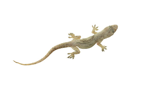 clipping: Dead lizard of reptile on white background with clipping paths.
