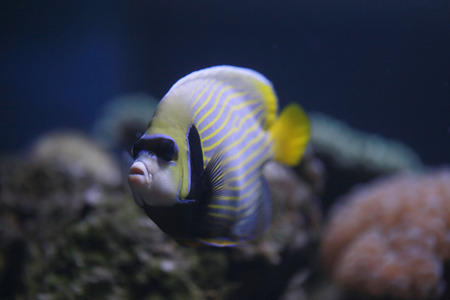 pomacanthus imperator: L'imperatore angelfish o Pomacanthus imperator pesce in un acquario marino, vicino ritratto.