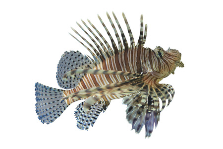 marinelife: Lionfish or Pterois volitans coral reef tropical fish,Lionfish have a venomous dorsal spines are cause pain,on white background and have clipping paths.