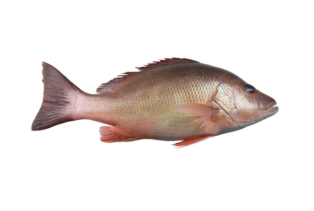 Fresh red Snapper fish or Lutjanus campechanusfish isolated on a white background and have clipping paths.