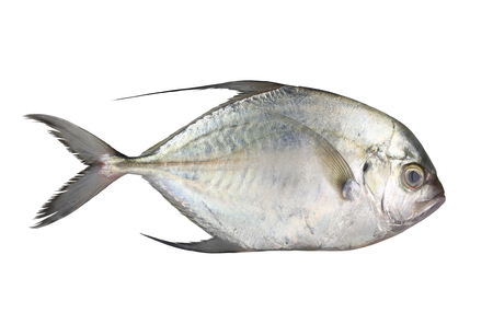 longfin: Carangoides fish or Longfin trevally is marine animal on white background and have clipping paths for design.