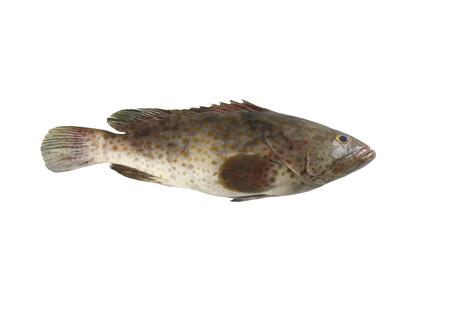 ハタ魚は、白い背景で隔離し、クリッピング パスがあります。 写真素材