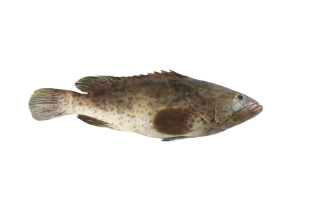 grouper fish isolated on white background and have clipping paths.