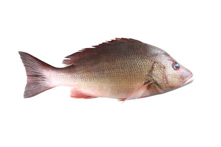 新鮮な鯛魚やフエダイ属 campechanusfish 白地に分離し、クリッピング パスを持っています。