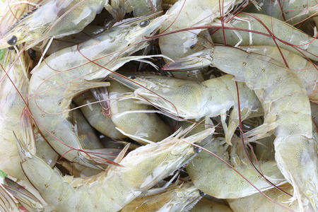 aquaculture: fresh raw shrimp as garnish in cooking,White shrimp or vannamei aquaculture in Thailand economic much valued to exports.