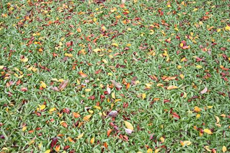 hojas secas: Césped verde tiene una hojas secas mezcladas en la primavera para el diseño de fondo.