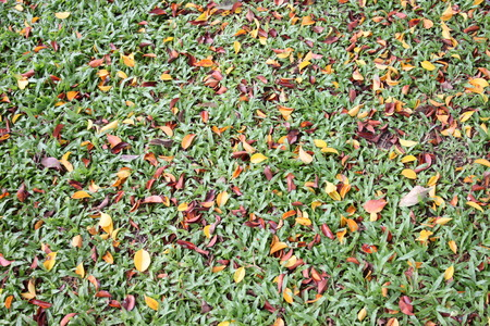 dry leaves: Green lawn have a dry leaves mixed in the spring for the design background. Stock Photo