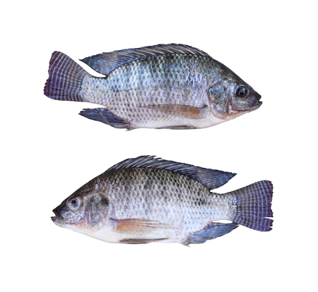white nile: Fresh Tilapia or Mango fish of freshwater isolated on white background and clipping paths.