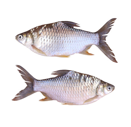 clipping: Cyprinidae or Silver barb is in the freshwater fish on white background and have clipping paths.
