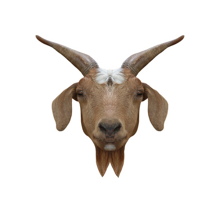 capra: Head animal of Domestic Goat or Capra hircus isolated on white background and have clipping paths.