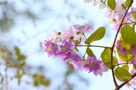 perennial: Lagerstroemia speciosa or tabak tree in Thailand,Perennial plant bloom one time per year. Stock Photo