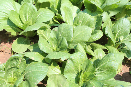 bok choy: green sapling of vegetables in the garden,Chinese cabbage or Bok Choy was one month. Stock Photo