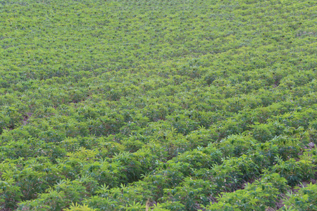 areas: Cassava plantation in rural areas of agriculture Thailand.
