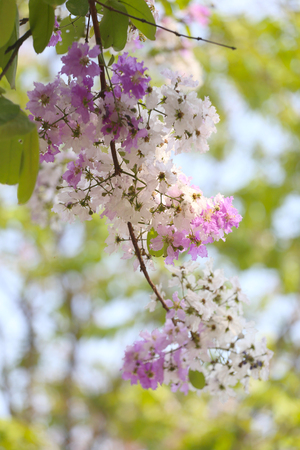 perennial plant: Lagerstroemia speciosa or tabak tree in Thailand,Perennial plant bloom one time per year. Stock Photo