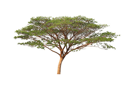 tropical tree: Tropical tree isolated on white background. Stock Photo