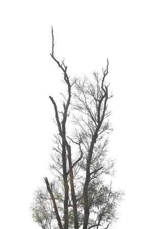 lack water: branches of dead trees in tropical forests on the white background. Stock Photo