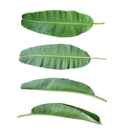 fresh leaf: Fresh banana leaf isolated on white background and