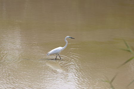 bittern: White Heron or Bittern are catch fish in the pond.
