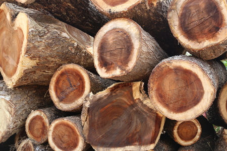 undertaking: pile of Rain tree wood in cut into piece are undertaking forestry.