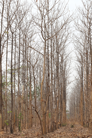 lack water: The drought tropical forests of Thailand,Trees in the forest to die because lack water and hot weather.