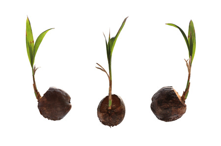 coconut seedlings: Dry coconut and have seedlings are growing for propagating isolated on white background with clipping paths. Stock Photo