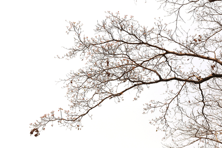 lack water: branches of dead trees in tropical forest on the white background.