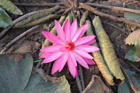 paciencia: flor de loto de color rosa en la mañana, en seco, el concepto de la sequía y la paciencia.
