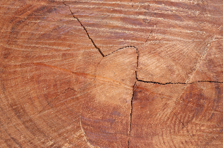 wood surface: Wood surface of trunk for the design nature background.