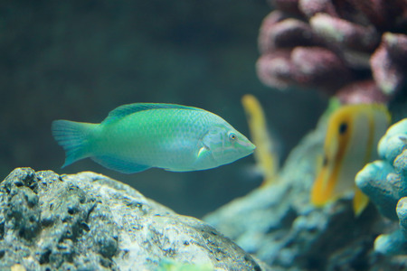 parrotfish: Parrot fish or dusky parrotfish in the sea.
