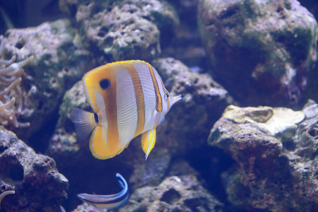 chelmon: Copper Banded Butterfly fish in the sea.
