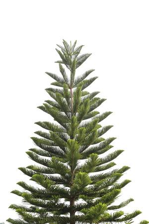 熱帯パインズは、白い背景の上の家族ナンヨウスギ科の針葉樹の木の属です。 写真素材