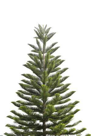 genus: Tropical Pines is a genus of coniferous tree in the family Araucariaceae on white background.