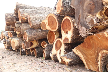 concession: pile of Rain tree wood in cut into piece are undertaking forestry.