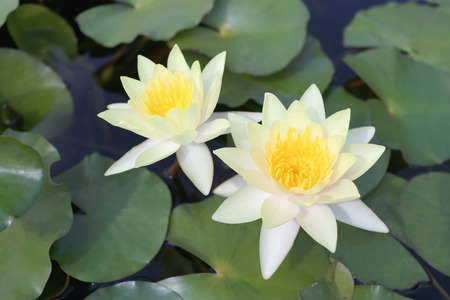 abloom: Yellow lotus in a pond with bloom in the Morning and green leaves surrounding.