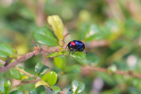 scarabaeidae: blue scarabaeidae on branch tree in the garden and eating leaves is food. Stock Photo