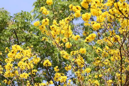 Tabebuia spectabilis flower or yellow tabebuia flower bloom on tabebuia spectabilis flower or yellow tabebuia flower bloom on tree in the gardentropical yellow mightylinksfo Images