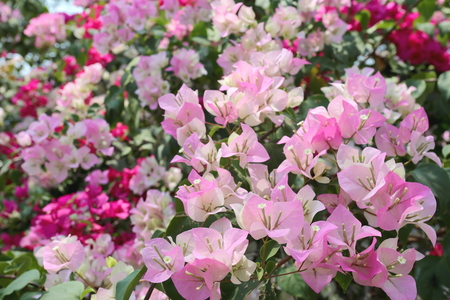 abloom: Pink Bougainvillea blooming on tree in the flower garden.