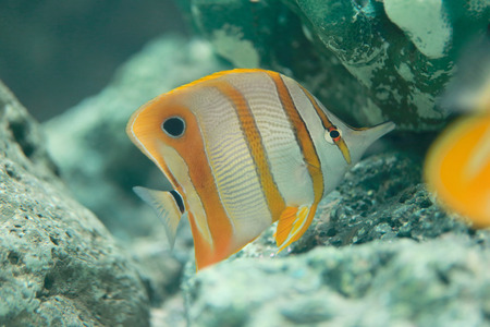 Copper Banded Butterfly fish in the sea.
